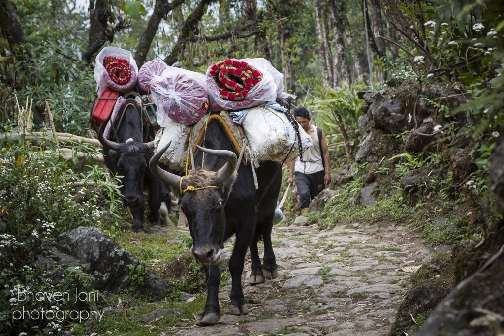 Bulls help carry luggage for trekkers in Sikkim